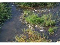 Mert Irmağı'nda balık ölümleri devam ediyor