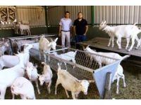 Bu keçiler yılda 1 ton süt veriyor