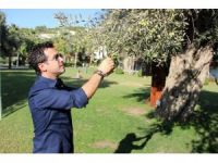 Asırlık zeytin ağaçları tescillenip koruma altına alındı