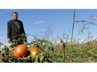 Iğdır'ın turşuluk domatesi tezgahlarda