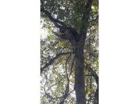 Artvin'de köpekten kaçarak ağaca tırmanan ayı yavruları kurtarıldı