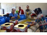 Biga'dan dünyaya acı biber turşusu ihracatı