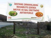 Zonguldak ve Bartın'da kestane kanserine karşı mücadele sürüyor
