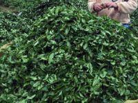 ÇAYKUR'da yaş çay bedeli ödemeleri başladı