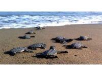 Yeşil deniz kaplumbağalarında bu yıl Kazanlı'da rekor kırıldı
