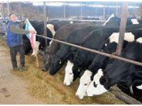 Yemin fiyatı 53 TL'ye çıktı, süt üreticisi kara kara düşünmeye başladı