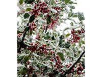 İspanya'nın Galiçya bölgesinde soğuk meyve ağaçlarını tehdit ediyor