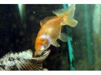 - Gözleri olmadan yaşayan  japon balığı görenleri hayrete düşürüyor