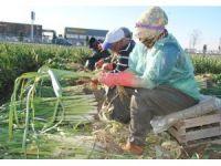 Pırasa üreticileri soğuğa aldırmadan hasada devam ediyor