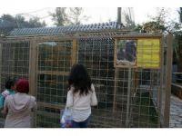Dişlerini sökülen şempanzeye Antalya Büyükşehir Belediyesi sahip çıktı