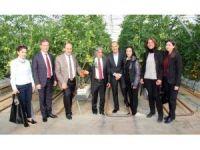 Adana'da ilk topraksız domates hasadı