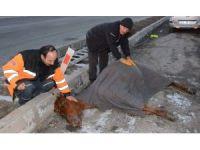 Kuyudan kurtardıkları atın üstünü örtüp masaj yaptılar