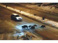 Tunceli'de domuzlar karayoluna indi