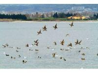 İzmit Körfezi kuş cenneti haline geliyor