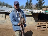 Keçi kuzuya benzer bir yavru doğurdu
