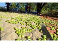 Zeytin ve zeytinyağının tanıtım yolculuğu Londra'da noktalandı