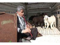 Türkücü Aydın Aydın, kaval çalarak kuzularla gezdi