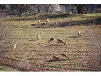 Köylüler duyarlılık gösterdi, dağ keçileri tarlalara kadar indi