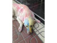 Köpekleri tuttuğu takımın rengine boyadı