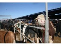 Afyonkarahisar'daki besiciler ucuz karkas dana eti satışının hayvancılığı bitireceğini öne sürdü