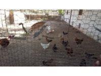 TİKA'dan Gine Bissaulu kadınlara Tavukçuluk Geliştirme Projesi