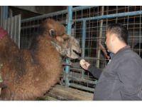 Güreş sezonunu tamamlayan develer bakıma alındı