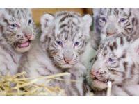 Dört Bengal kaplan yavrusu görücüye çıktı