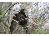 Ebabil kuşu Iğdır'da ilk defa halkalandı