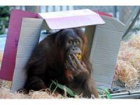 Orangutan Maimunah'ın 31'inci doğum günü kutlandı