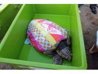Dev kaplumbağayı iyileştirip denize saldılar