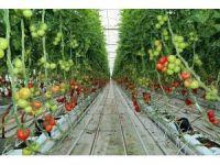 Sorgun'da jeotermal kaynaklarla organik domates üretiliyor