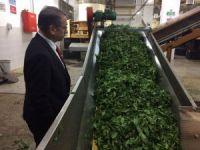 ÇAYKUR 3 haftada üreticiden 64 bin 300 ton yaş çay aldı