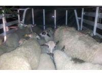 Çaldıkları koyunları satmak üzereyken yakalandılar
