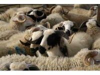 Koyun ve keçi üreticilerine küpe ödemleri başlıyor