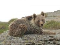 Artvin'de ayıların envanteri çıkartıldı
