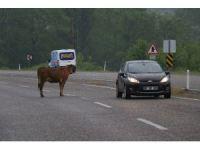 Karayolunun ortasına çıkan inekler sürücüleri korkutuyor