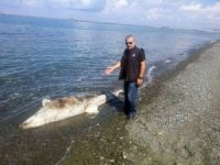 Dörtyol sahilinde ölü köpek balığı bulundu