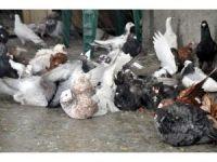 Güvercinler de sıcaktan korunmanın yolunu buldu