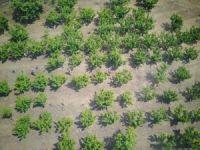 Ormanlık alandaki kenevirlere drone'li takip