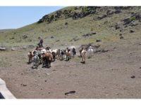 Arkadaşları tatil yaparken o koyun otlatıyor