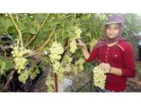 Türkiye'nin üzüm ambarında hasat dönemi