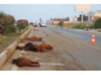 Adana'da otomobil sürüye daldı: 30 hayvan telef oldu