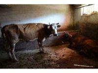 Tunceli'de şarbon nedeniyle 7 hayvan telef oldu