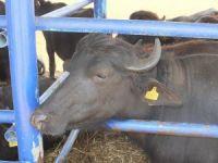 Daha çok süt verimi için Anadolu mandası Murrah mandalar ile melezleştiriliyor