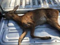 Köpeklerin saldırısına uğrayan yavru karaca öldü