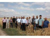 Yeni geliştirilen buğday çeşitleri