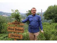 Stevia'nın 5. yılında ilk hasat yapıldı