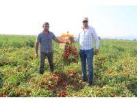 Süper erkenci domates çeşidinin hasadı başladı