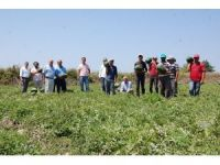 Bafra Ovası'nda karpuz hasadı başladı