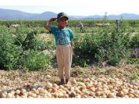 Soğanın fiyatı tarlada iki kat arttı